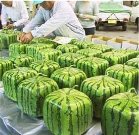 В Японии изобрели квадратные арбузы.  Чтобы получить такую форму, их выращивали в...