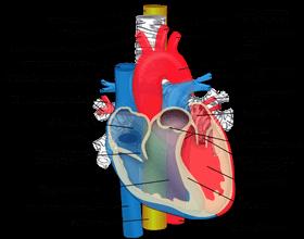aort damarı