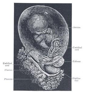 fetüs