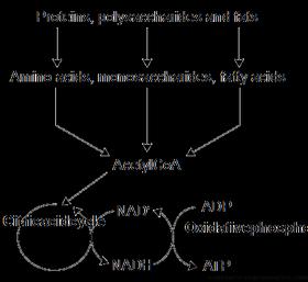 katabolizma