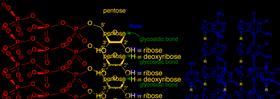 nükleotit