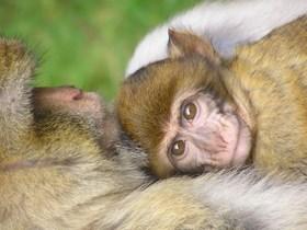 primatlar