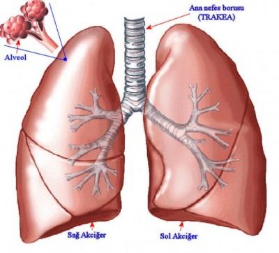 akciğerin yapısı