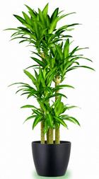 Makam çiçeği örneği