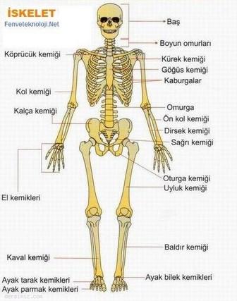 Eklem Nedir Eklem Ne Demek Nedir Com Eklem, iki veya daha fazla kemiğin, vücut bölümlerinin hareket edebilmesini sağlamak maksadıyla birleştiği kısıma verilen ad. eklem nedir eklem ne demek nedir com