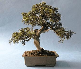 Bonzai ağacı örneği.png