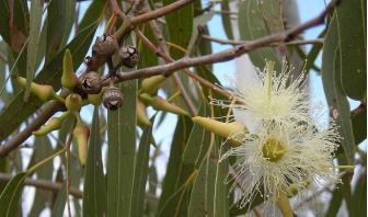 ökaliptus