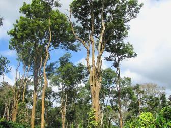 pelesenk ağacı