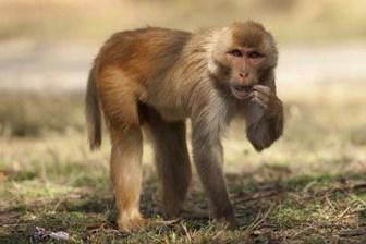 rhezus maymunu