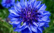 mavi kantaron